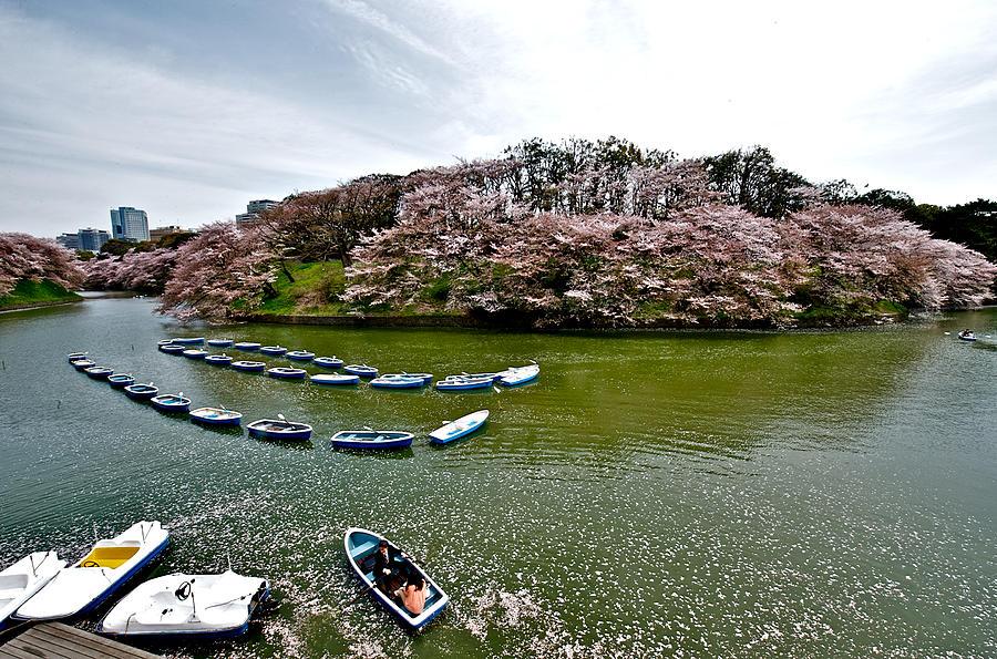 cherry-blossom-in-chidorigafuchi-hisao-mogi