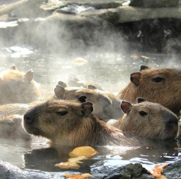 Tròn mắt xem đàn chuột khổng lồ tắm nước nóng sang chảnh