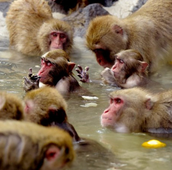 Vườn thú ưu tiên cho bầy khỉ tắm spa nhân dịp tiết Đông chí