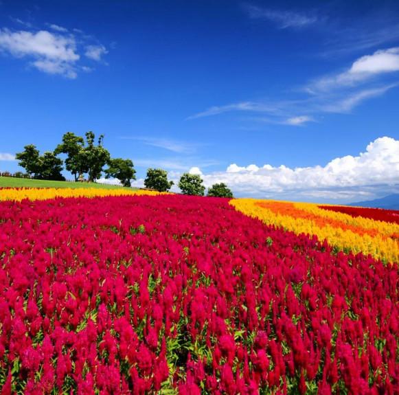 Mùa hè Nhật Bản - rực rỡ sắc màu với hoa, lễ hội, và pháo hoa