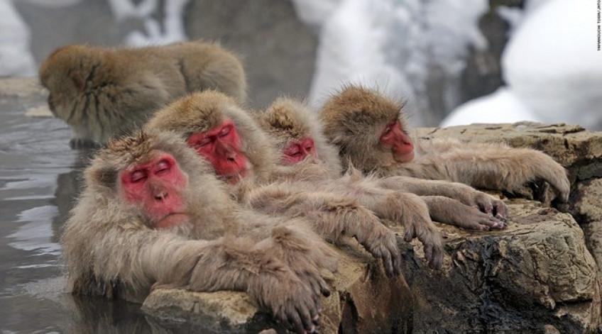 Khung cảnh suối nước nóng giữa ngọn núi phủ tuyết thật ngoạn mục, nhưng phần lớn các du khách đến đây vì một lý do khác: bầy khỉ đắm mình trong làn nước ấm. Hơn 200 con khỉ sống trong thung lũng Jigokudani tới suối nước nóng chính của công viên để ngâm mình trong mùa đông mà không thèm để ý tới con người.