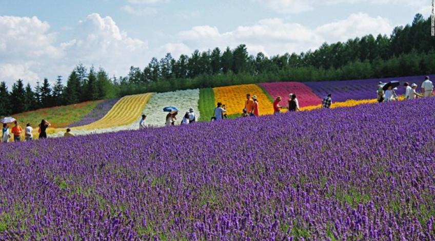 """Trang trại Tomita có ba cánh đồng oải hương, trong đó có đồng Sakiwai nghĩa là """"cánh đồng hạnh phúc"""" với 4 giống oải hương tạo thành tấm thảm màu tím rực rỡ."""