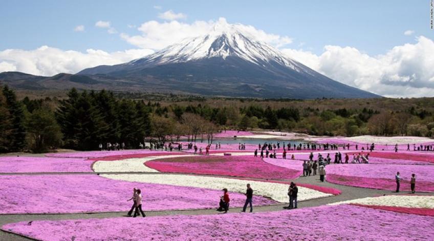 Với nền là núi Phú Sỹ, 800.000 cây Shibazakura phủ kín 2,4 hectare với những bông hoa màu hồng, trắng và tím. Hàng nghìn người tới đây để chiêm ngưỡng hóa nở từ giữa tháng 4 tới hết tháng 5.