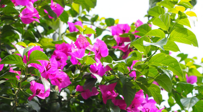 Bougainvillea - Mid July to late November