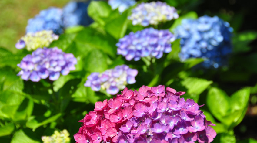 Hydrangea- Early June to late June