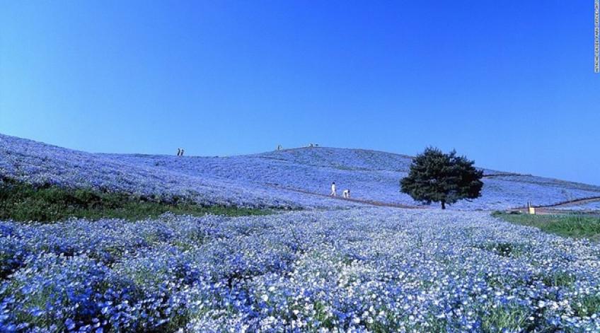 Hơn 4 triệu bông hoa Nemophila bừng nở từ cuối tháng 4 tới tháng 5 ở công viên nằm trên đồi Miharashi tạo ra khung cảnh lãng mạn tuyệt vời.