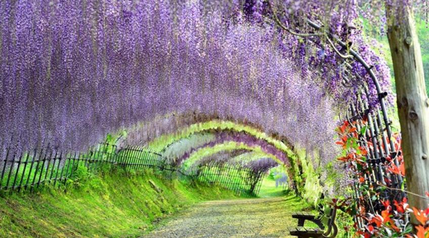 Hành lang với vòm cây đan cài đem lại cảm giác bình yên, tĩnh tại. Vườn có hơn 150 cây tử đằng thuộc 20 loại. Lễ hội hoa tử đằng được tổ chức vào cuối tháng 4 hàng năm, khi hoa nở rực rỡ nhất.