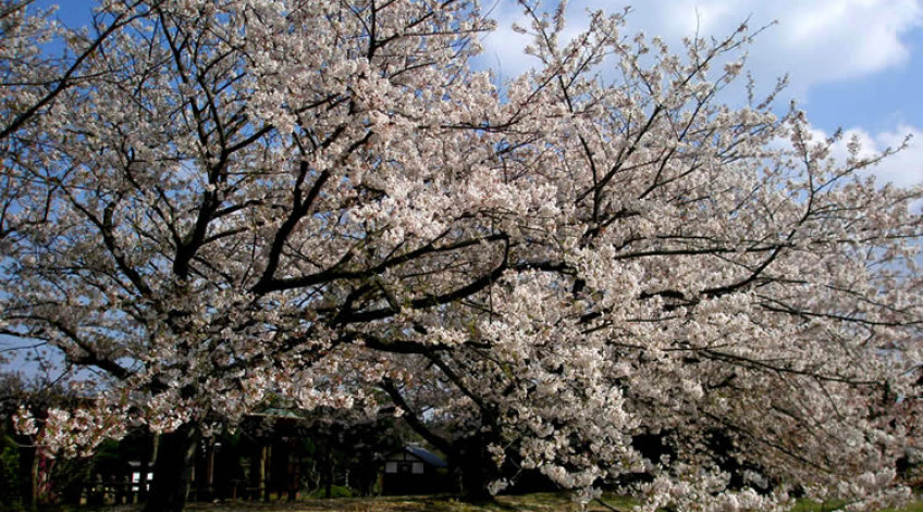 Cherry blossom - End of March to beginning of April (Yoshino Cherry and Oshima Cherry)