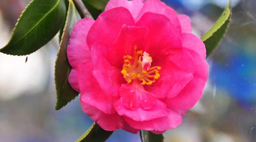 Japanese camellia Early January to late February