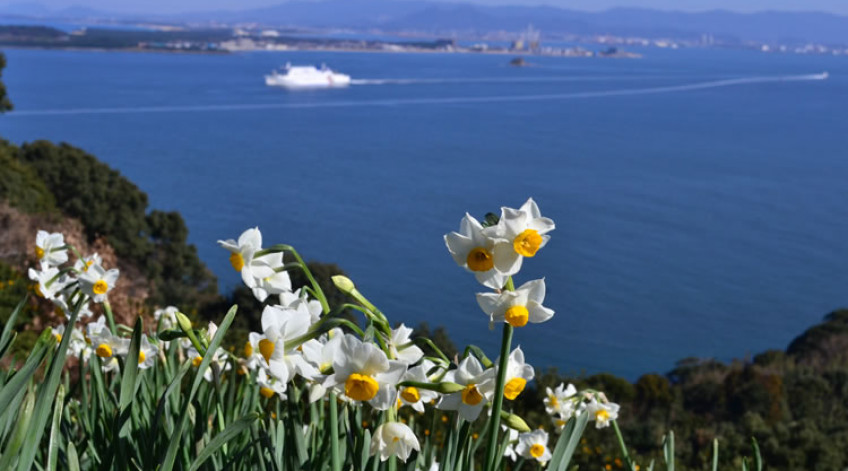 Japanese narcissus January to early February