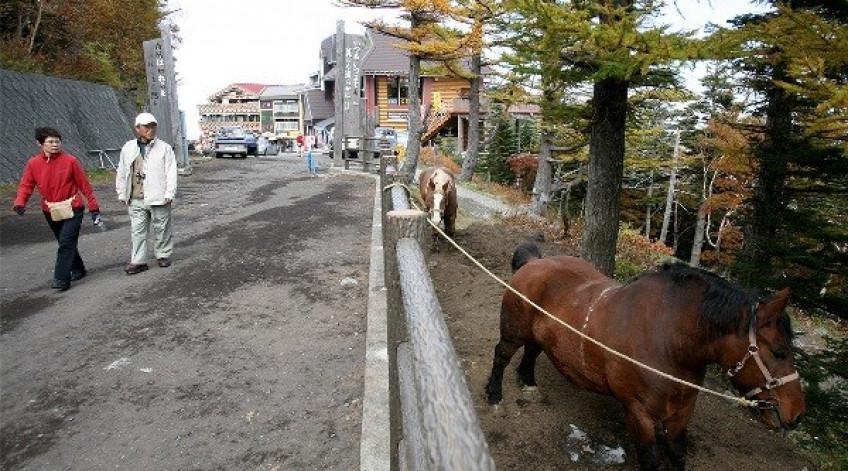 Những chú ngựa cho khách du lịch thuê cưỡi