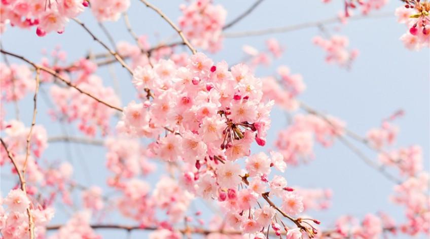 Mỗi mùa xuân về là hoa đua nhau khoe sắc